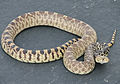 Buckley gopher snake.JPG
