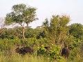Buffaloes corner leopard up a tree (7281593690).jpg