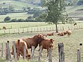 Bull and cows in Amurrio 2018 05.jpg