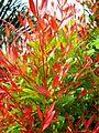 Bunga pucuk merah (52).JPG