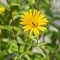 Buphthalmum salicifolium in Jardin des 5 sens (4).jpg