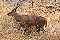 Bushbuck (Tragelaphus scriptus) male ... (50228737942).jpg