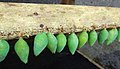 Butterfly-cocoons-green-snd.JPG