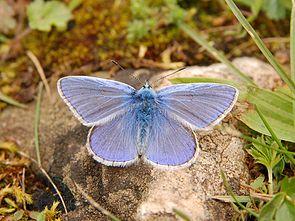 Hauhechel-Bläuling ♂ (Polyommatus icarus)