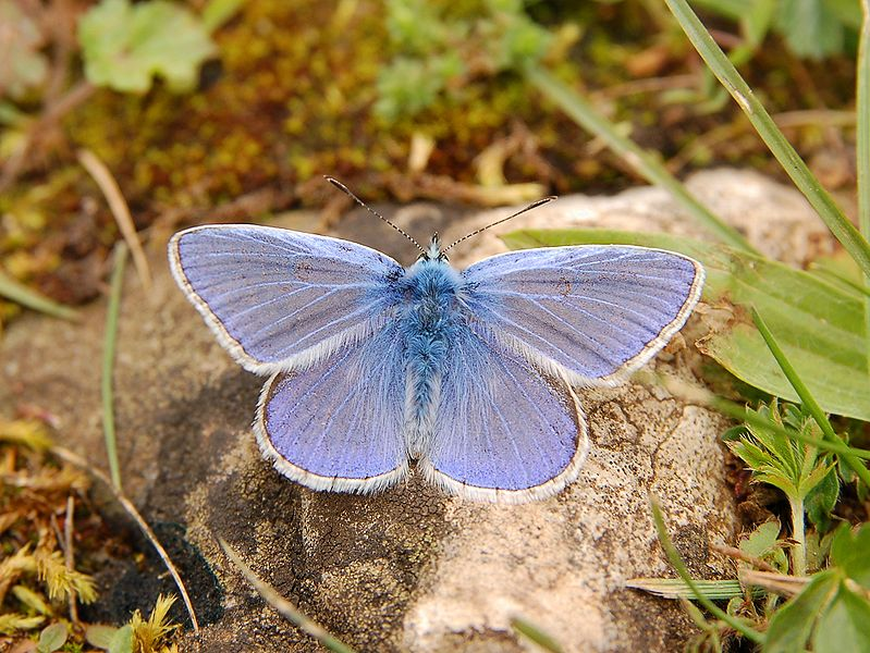 File:Butterfly Luc Viatour.JPG