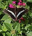 Butterfly Pavilion 8-23 (20931756752).jpg