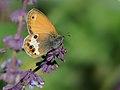 Butterfly Pearly Heath - Coenonympha arcania.jpg