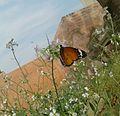 Butterfly on daikon flower.jpg