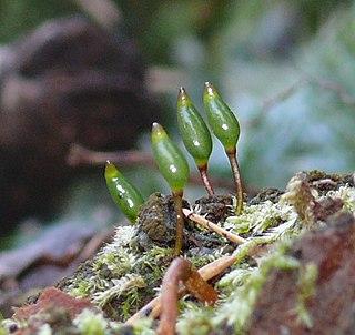 <i>Buxbaumia viridis</i>