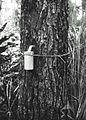 COLLECTIE TROPENMUSEUM Proef met het aftappen van de hars van een Pinus dennenboom Gajolanden TMnr 60023565.jpg