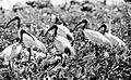 COLLECTIE TROPENMUSEUM Witte ibissen op een nestplateau TMnr 10006482.jpg