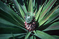 CSIRO ScienceImage 2094 A Pineapple.jpg