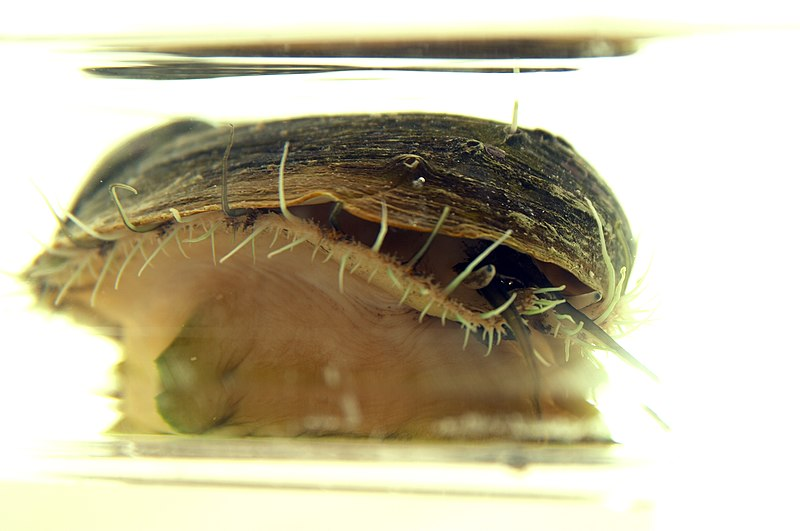 File:CSIRO ScienceImage 7458 Cultured abalone.jpg