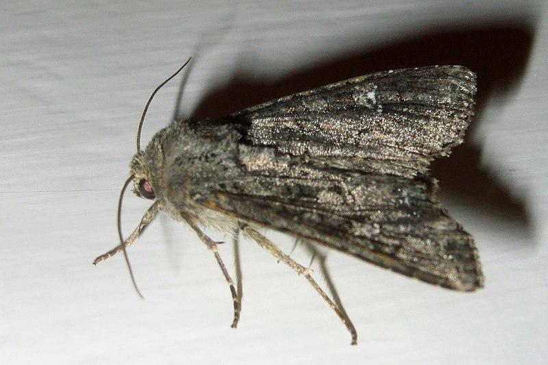 File:Cabbage moth (NH266sl) (24553171680).jpg