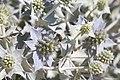 Cactusriaformosa.jpg