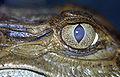 Caiman crocodilus06.jpg