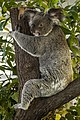 Cairns Koala waiting for a cuddle-1 (15981656086).jpg