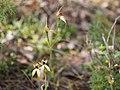 Caladenia macrostylis (04).jpg