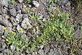 Calendula arvensis IMG 4825 tenerife chio.JPG