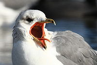California gull - Larus californicus screeching.jpg