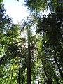 California redwood trees looking up.JPG