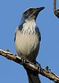 California scrub jay, Aphelocoma californica, along the Guadalupe River in Santa Clara, California, USA (25319214389).jpg