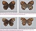 Callerebia dibangensis 4 by Arun Singh.jpg