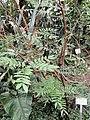 Calliandra haematocephala - Botanischer Garten Freiburg - DSC06322.jpg