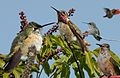 Calliope Hummingbird From The Crossley ID Guide Eastern Birds.jpg