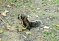 Callosciurus-erythraeus (drink water in park).JPG