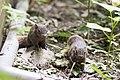 Callosciurus erythraeus thaiwanensis (30473660970).jpg