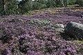 Calluna vulgaris (36702610563).jpg