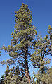 Calocedrus decurrens Big Bear Lake 1.jpg