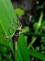 Calopteryx IMG 6363^.jpg