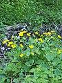 Caltha palustris Knieć błotna 2020-04-30 02.jpg