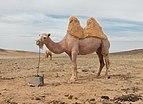 Camel Farm in Mongolia 06.jpg