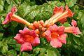 Campsis radicans (trumpet vine or trumpet creeper). RHS Wisley Surrey UK.jpg