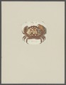 Cancer petraea - - Print - Iconographia Zoologica - Special Collections University of Amsterdam - UBAINV0274 094 14 0035.tif