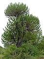 Candelabra Tree (Euphorbia ingens) (12011979134).jpg