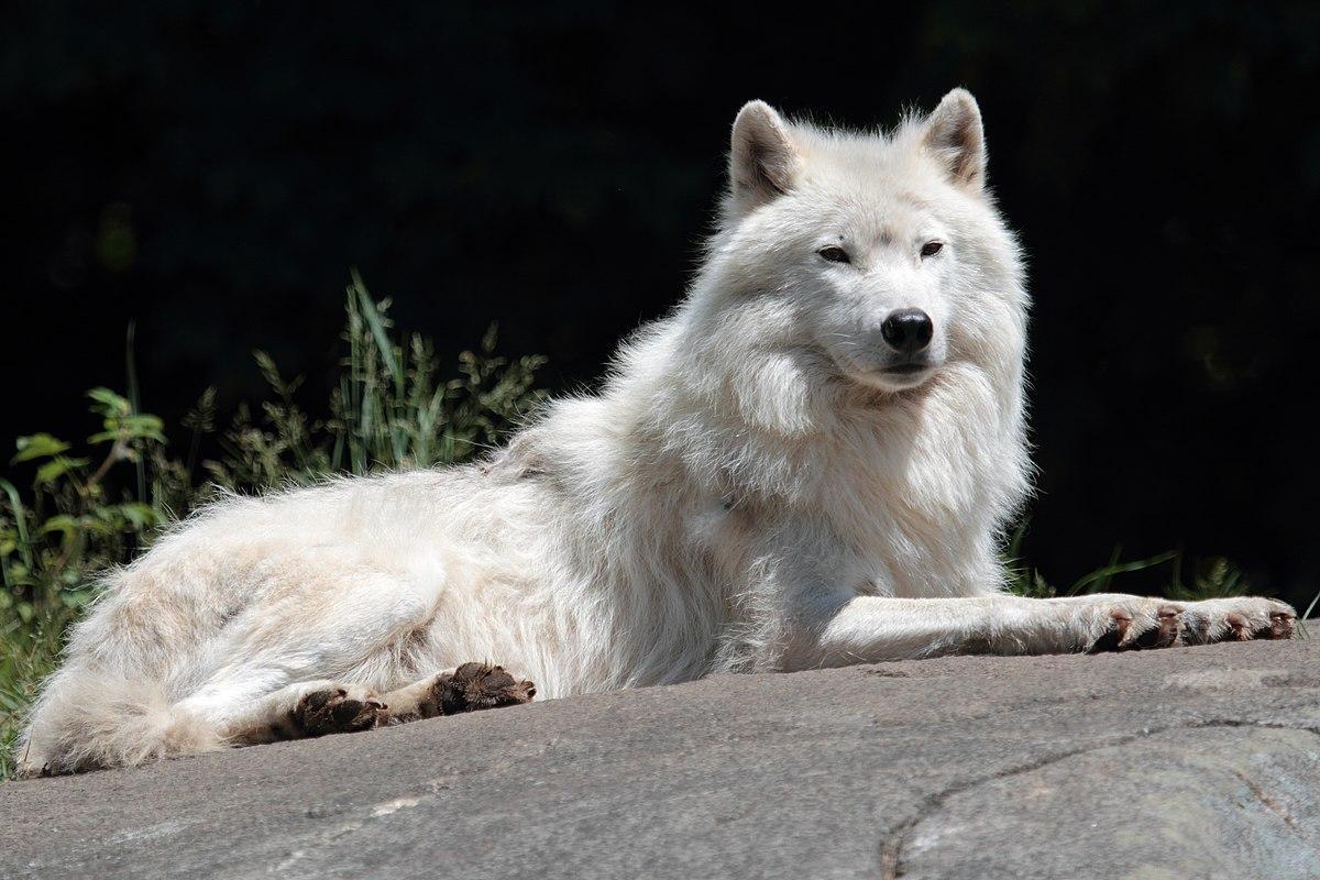 Serigala Wikipedia