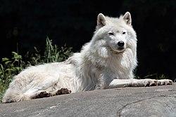Canis lupus arctos PO.jpg