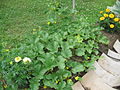 Cantaloupe plant.JPG