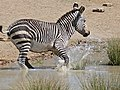 Cape Mountain Zebra (Equus zebra zebra) at waterhole ... (32192087990).jpg