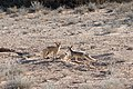 Cape fox and cub.jpg
