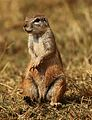 Cape ground squirrel, Xerus inauris, at Krugersdorp Game Reserve, Gauteng, South Africa (27410198621).jpg