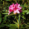 Capel Manor Gardens Enfield London England - pink Rhododendron.jpg