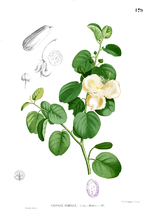 Capparis spinosa Blanco1.179.png