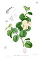 Capparis spinosa Blanco1.179.png