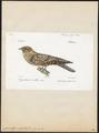 Caprimulgus ruficollis - 1842-1848 - Print - Iconographia Zoologica - Special Collections University of Amsterdam - UBA01 IZ16700039.tif