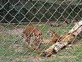 Caracas zoo tigers.jpg